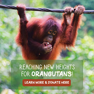 Reaching New Heights For Orangutans